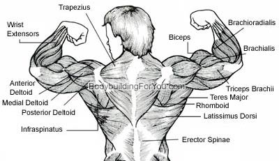 upper back muscle exercise - latissimus dorsi muscle. lower back, Human Body
