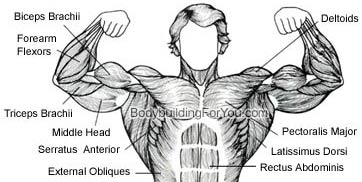 chest muscle pectoral muscle workout build chest muscle pecs  : chest muscle diagram - findchart.co