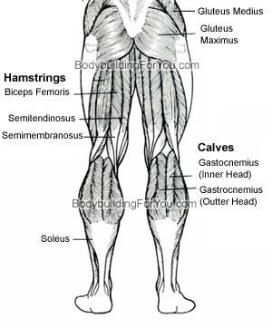 leg muscle anatomy quadriceps muscle hamstring muscle and  : hamstring muscles diagram - findchart.co