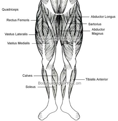 Leg Muscle Anatomy - Quadriceps Muscle, Hamstring Muscle, and ...